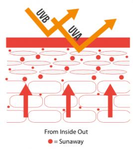 สารประกอบในซันอะเวย์(sunaway) แทรกอยู่ตามชั้นผิวเพื่อรอจับ superoxide ที่เกิดจากแสงแดด