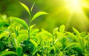 ต้นชาเขียว ญี่ปุ่น